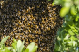 bee swarm, fighter jet, honeybees, winter