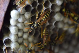 yellow jackets, nests, honeybees