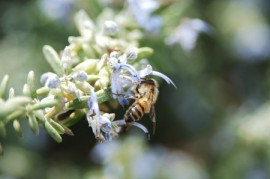 Africanized honeybees, honeybees, manuka honey