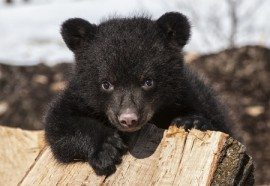 black bear, honey theft,