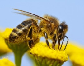 pollinator, mites, pest, endangered species list, honeybees