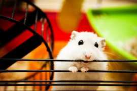 Hamster, Pet Care, Manuka Honey, Hamsters