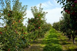 fruit trees, Washington, DAS, pollination, agriculture