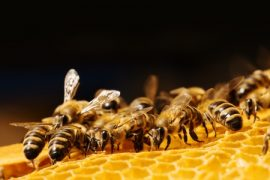 bees, warning signals, waggle dance, alkali bees