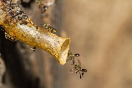 Jetai Bee, Evolution, Honeybee, Guard Bee, Stingless