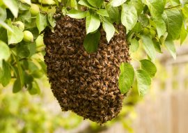 honeybees, swarm, honey bee