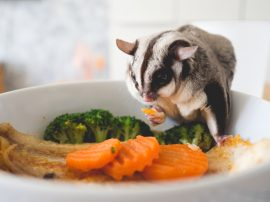 sugar glider, Manuka honey, pet care
