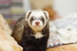 ferrets, medical concerns, Manuka honey