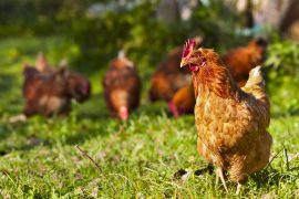 chickens, chicken health, Manuka honey