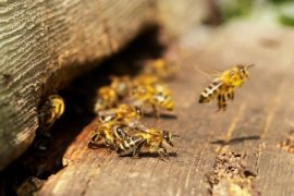 honeybees, bee swarms, beekeeping