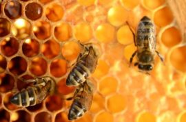 honeybee, honey, home security, waggle dance