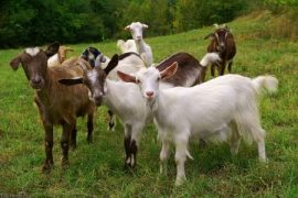 Goats, Manuka honey, wound care