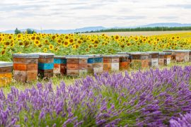bee hives, New Zealand, Manuka honey