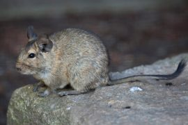 degu, pet care, Manuka honey