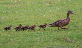 ducks, ducklings, Manuka honey