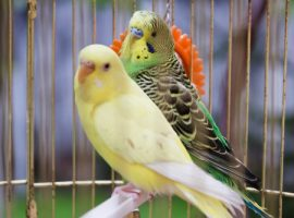 pet birds, Manuka honey, symptoms