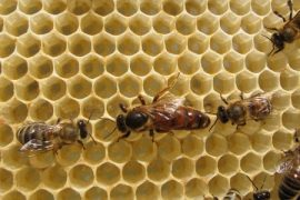 queen honey bees, genetic diversity, honeybees