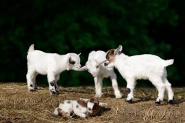 goat kids, Manuka honey, livestock care