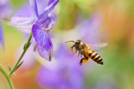 honey bees, gut bacteria, bee health