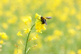 solitary bees, honey bees, bumblebees