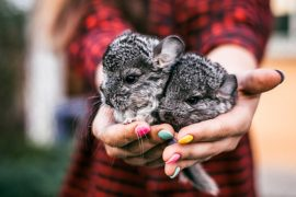 chinchillas, Manuka honey, pet care