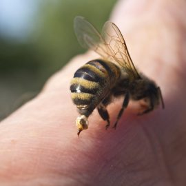 bee safety, treating bee stings, what to do during bee attacks