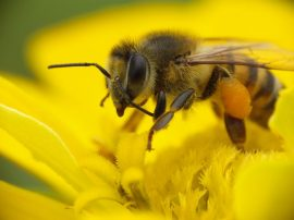 national honey bee day