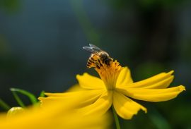 honey bee losses, honey bees