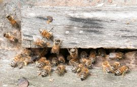 honey bee infestation