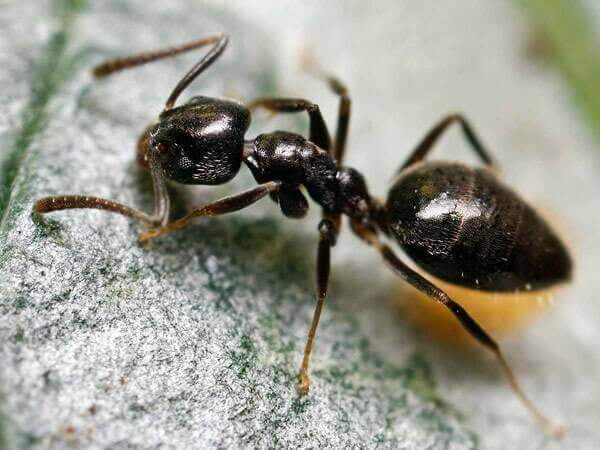 Big Headed Ant Picture