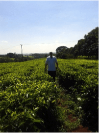 tea field in Kenya