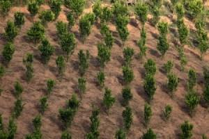 55645620 - tea plantations in myanmar