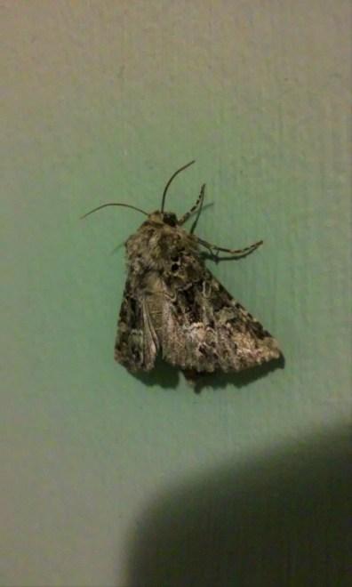speckly moth-a-ma-bob
