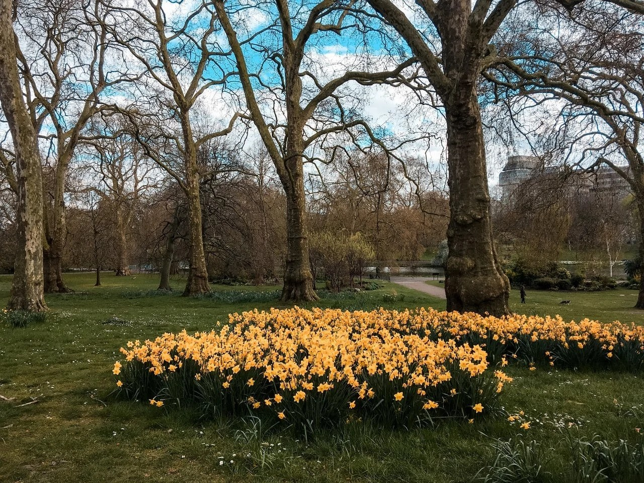 Daffodils in St James' Park, London, England