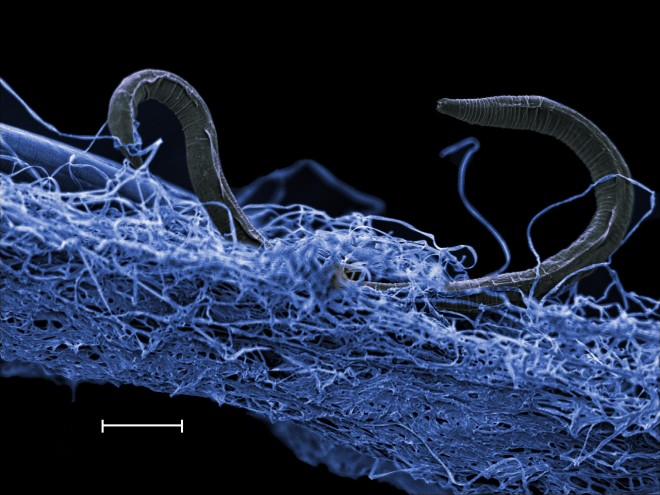Scanning electron microscope blue-tinted image of nematode on biofilm, collected from Kopanang mine almost one mile below surface. (Borgonie, ELi)