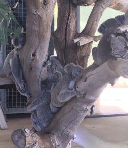 コフヌコアラパーク コアラの木