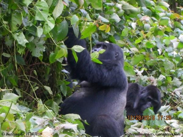 gorilla-trek-uganda-bwindi