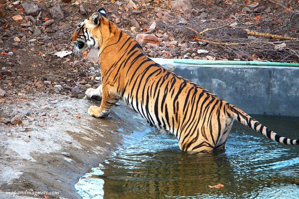 Ranthambore safari tiger entering pool