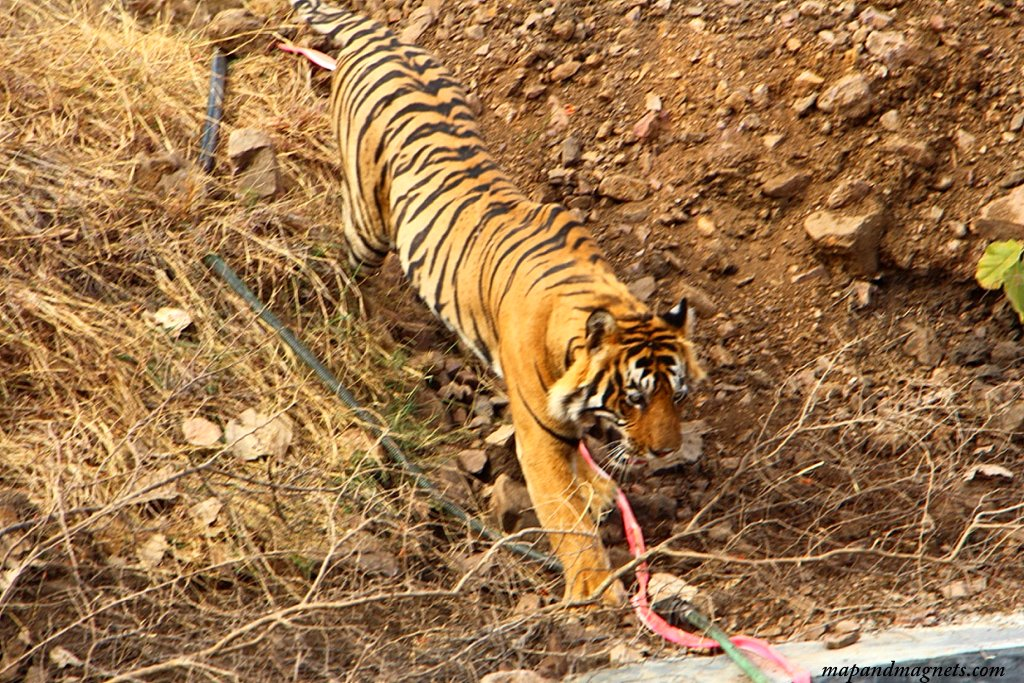 Ranthambore tiger walking