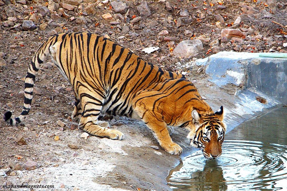 Ranthambore tiger drinking water
