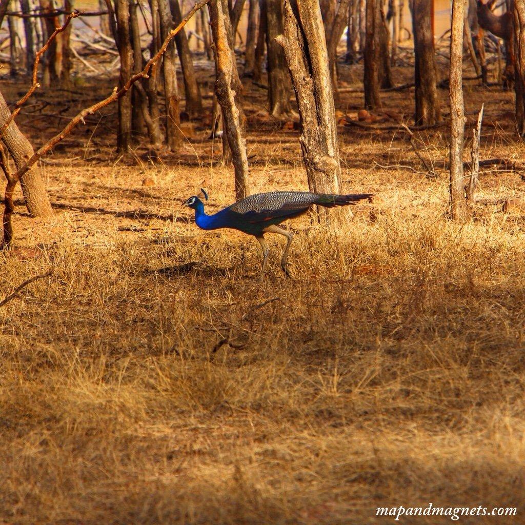 Ranthambore peacock
