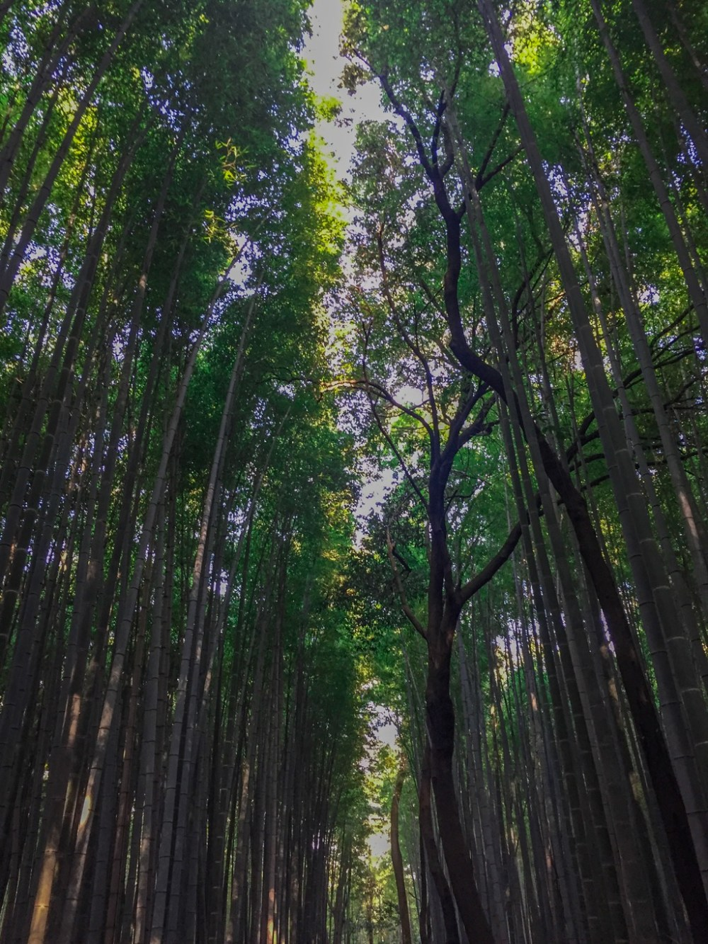 Arashiyama Bamboo Forest is located in Kyoto Japan