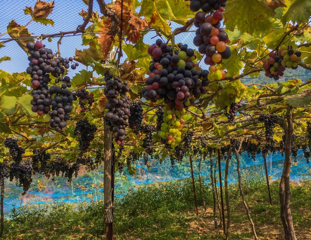 Grapes in vineyards in Nilgiris