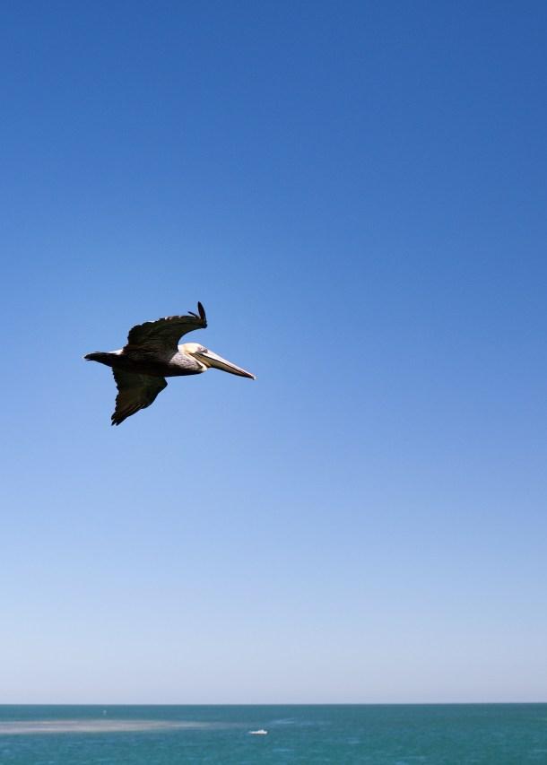 Pelican in the Keys