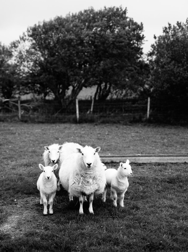 Isle of Skye Lamb