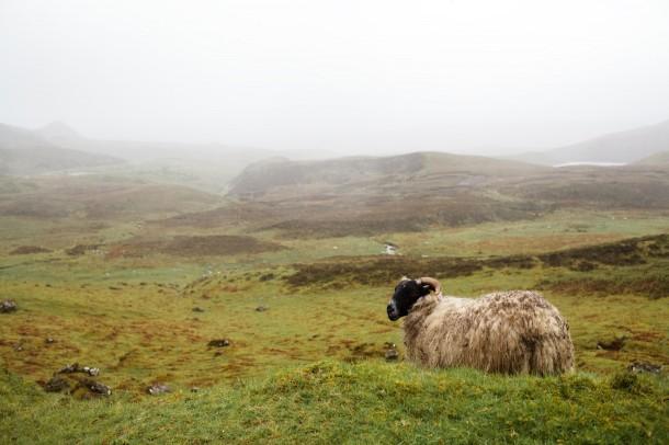 Isle of Skye Ram