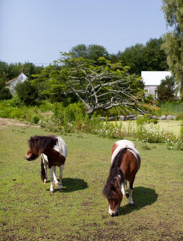 Miniature Horses at Snug Harbor Farm