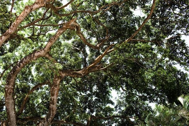 Montpelier Plantation Tree
