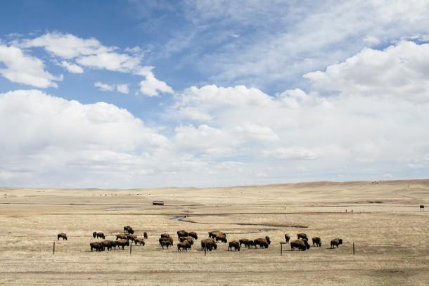 Wyoming Buffalo