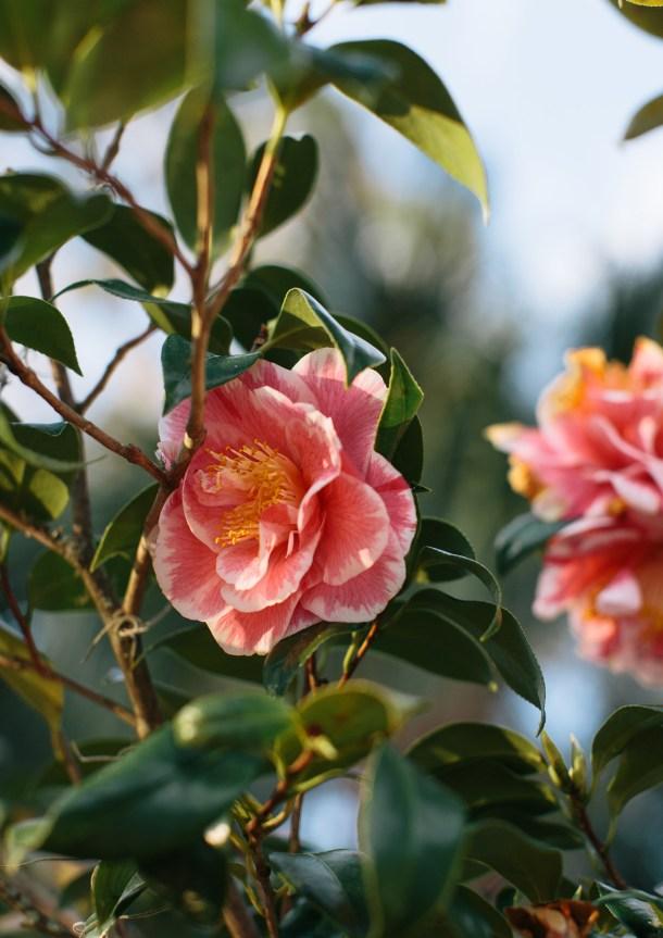 Palmetto Bluff Camellias